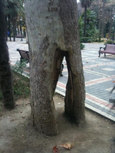 ilqar tree